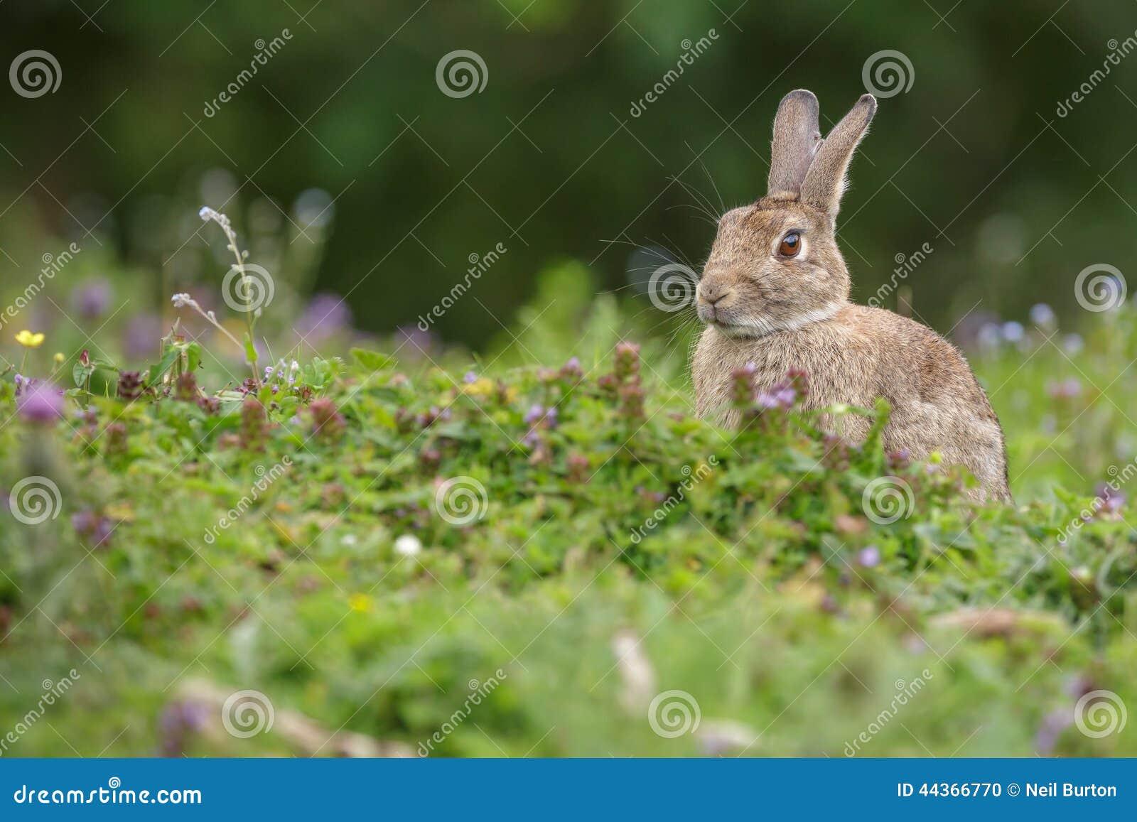 Coniglio in un prato
