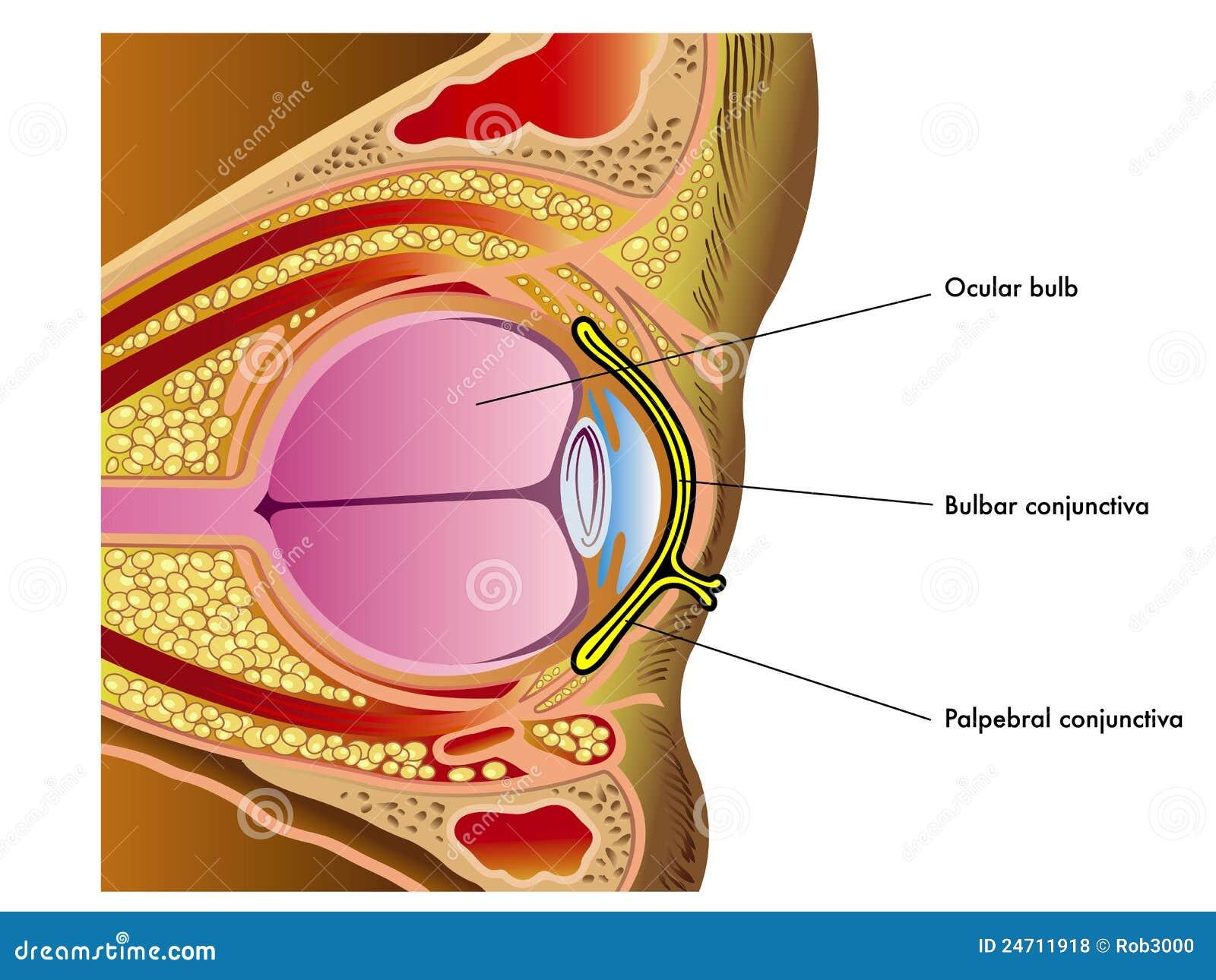 Conjuntiva ilustración del vector. Ilustración de retina - 24711918
