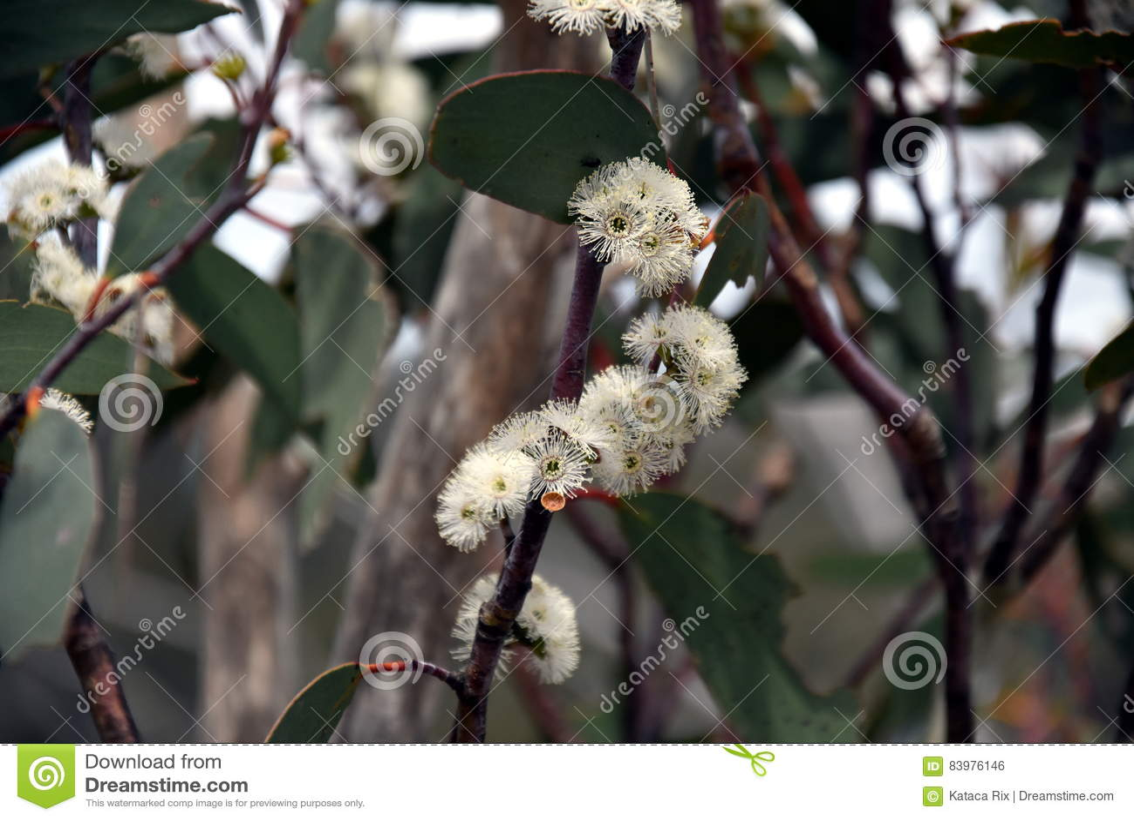 Conjunto das flores brancas do hispida de Angophora do gumtree