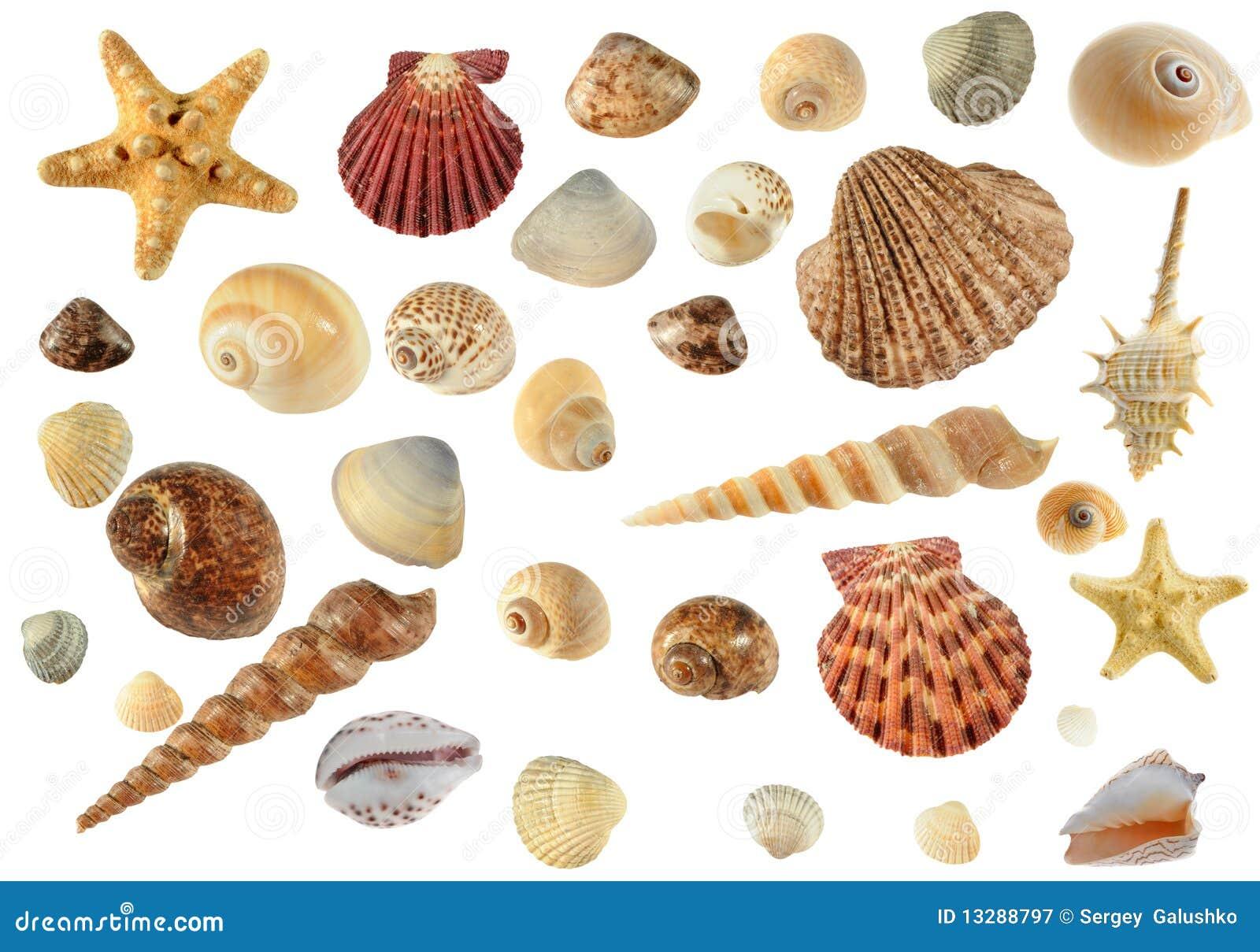 Conjunto De Conchas De Berberecho Del Mar Imagen De Archivo Imagen - Fotos-de-conchas-de-mar