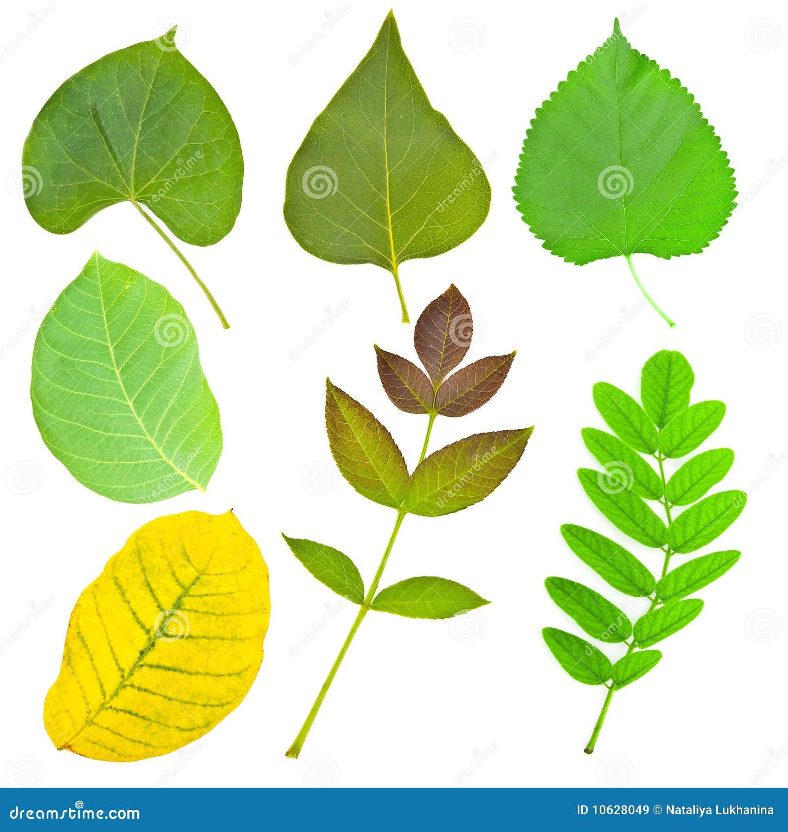 Image gallery hojas de arboles - Plantas de hojas verdes ...