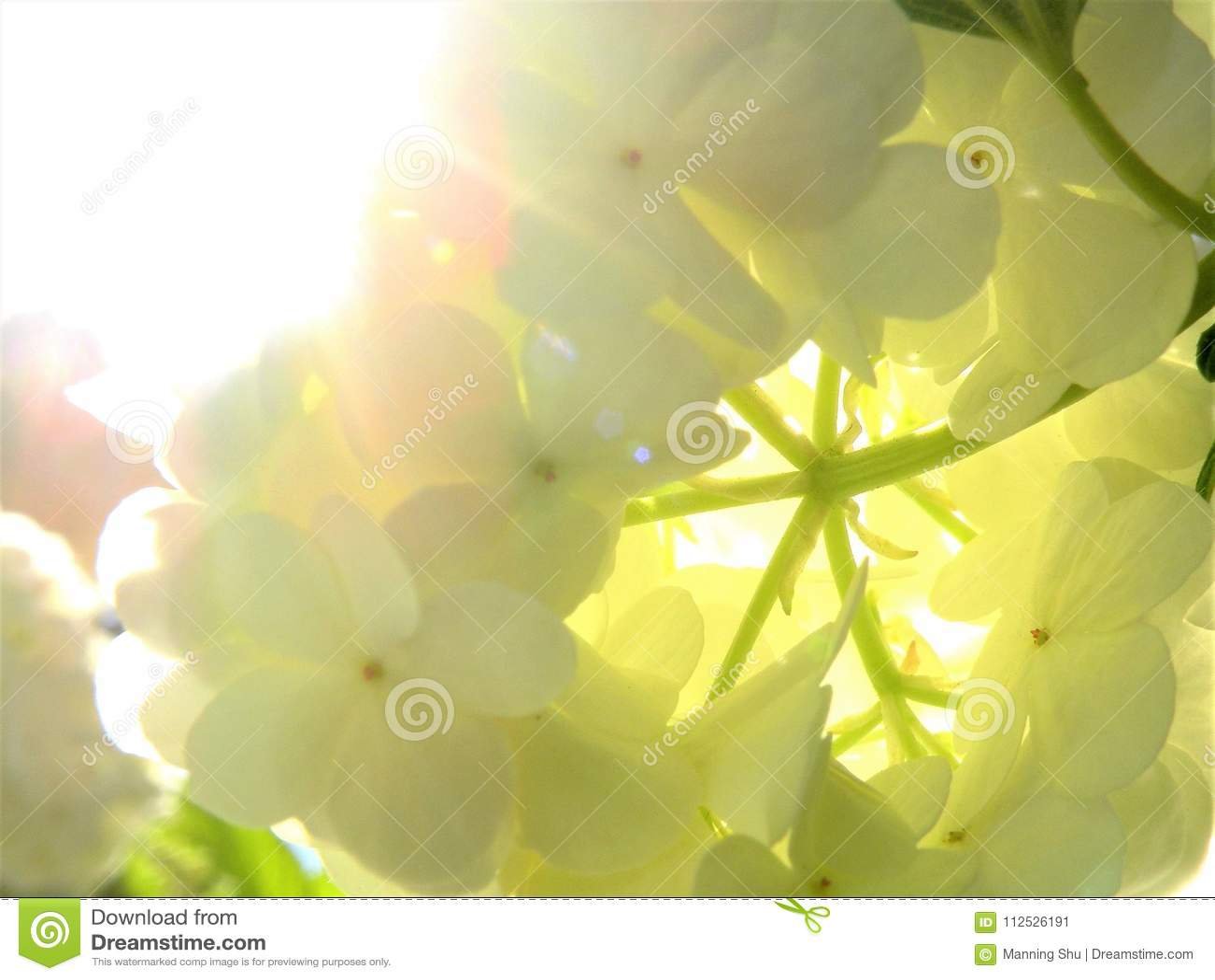 Conjunto de flor branca retroiluminado de Bush da bola de neve