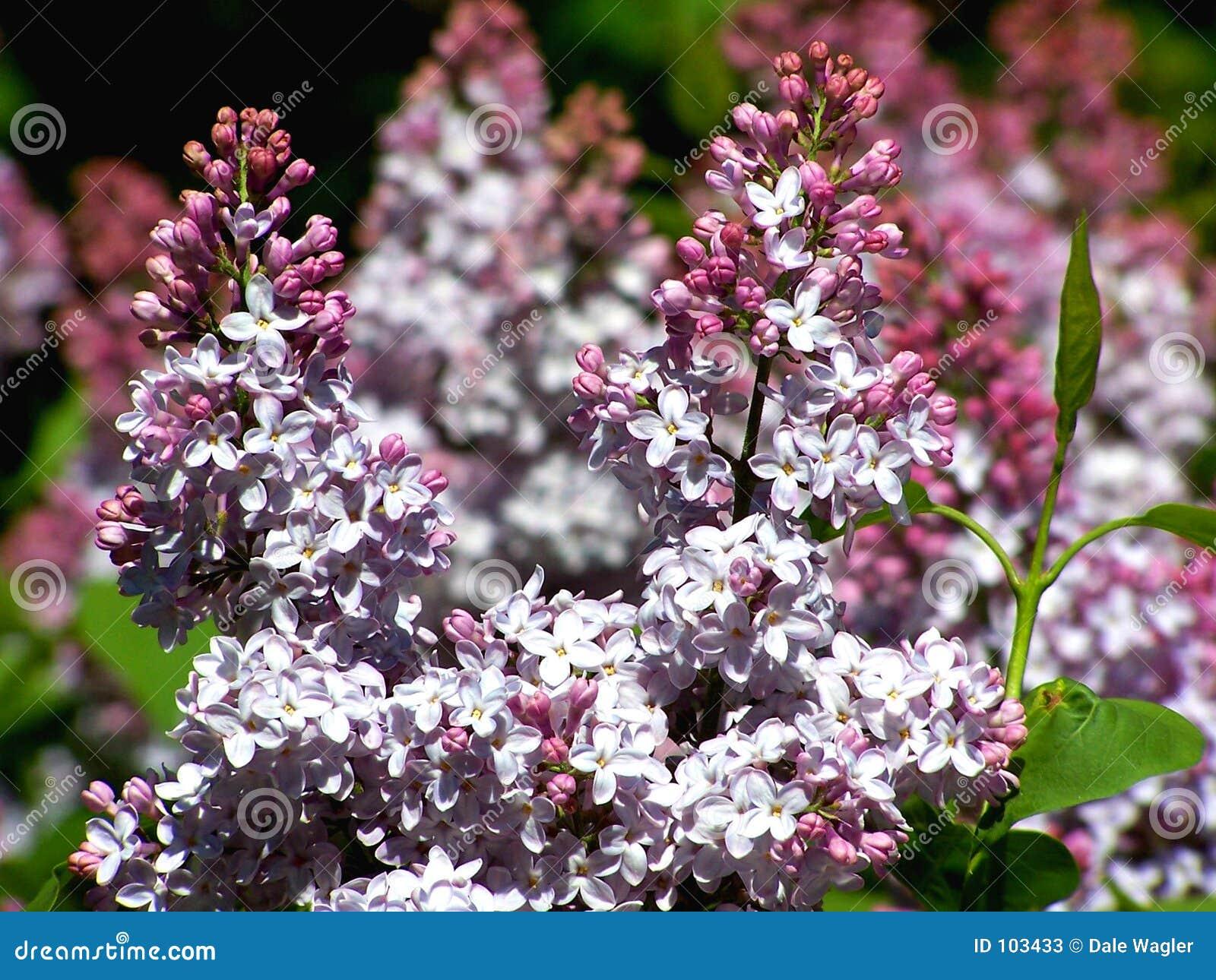 Conjunto do Lilac