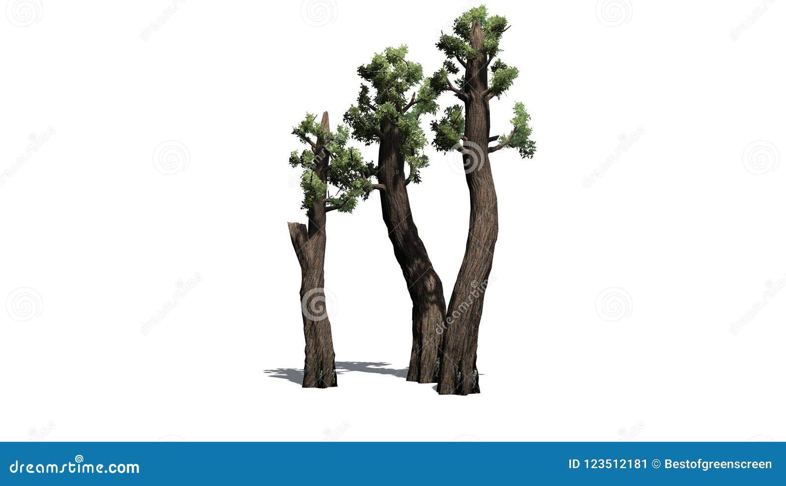 Conjunto gigante da árvore da sequoia vermelha