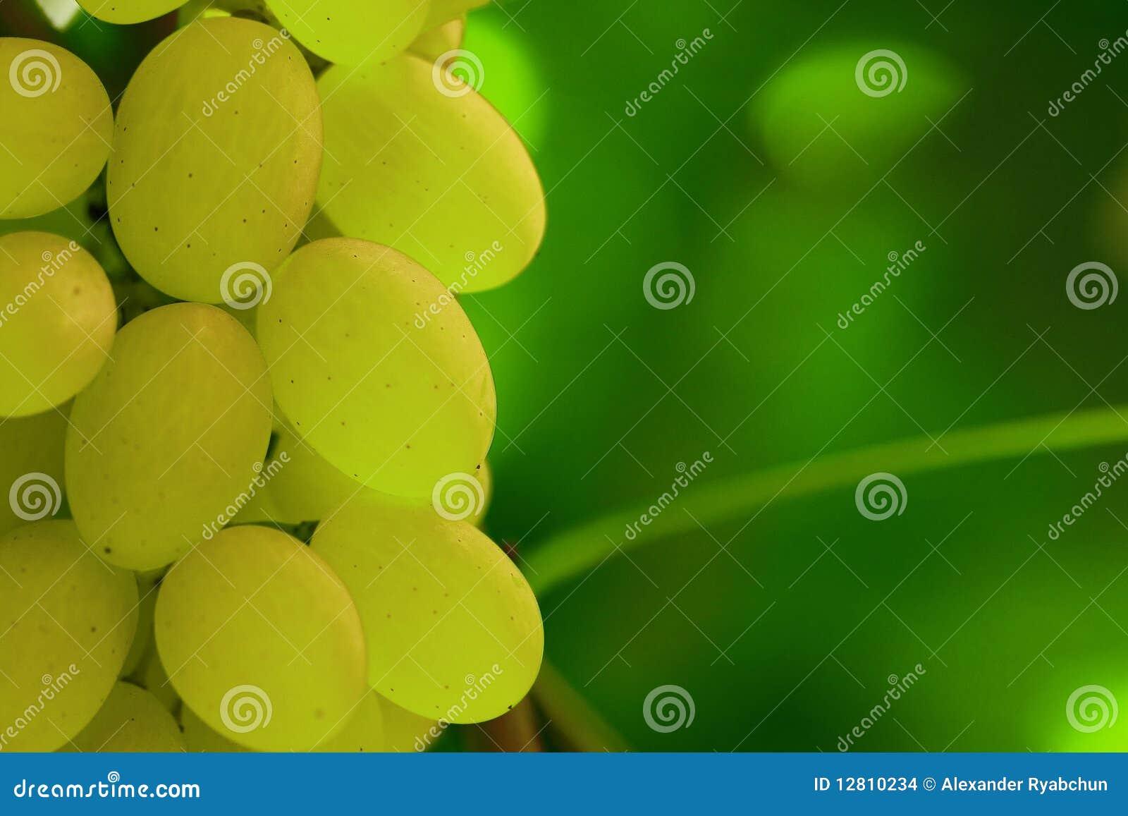 Conjunto verde da uva na videira