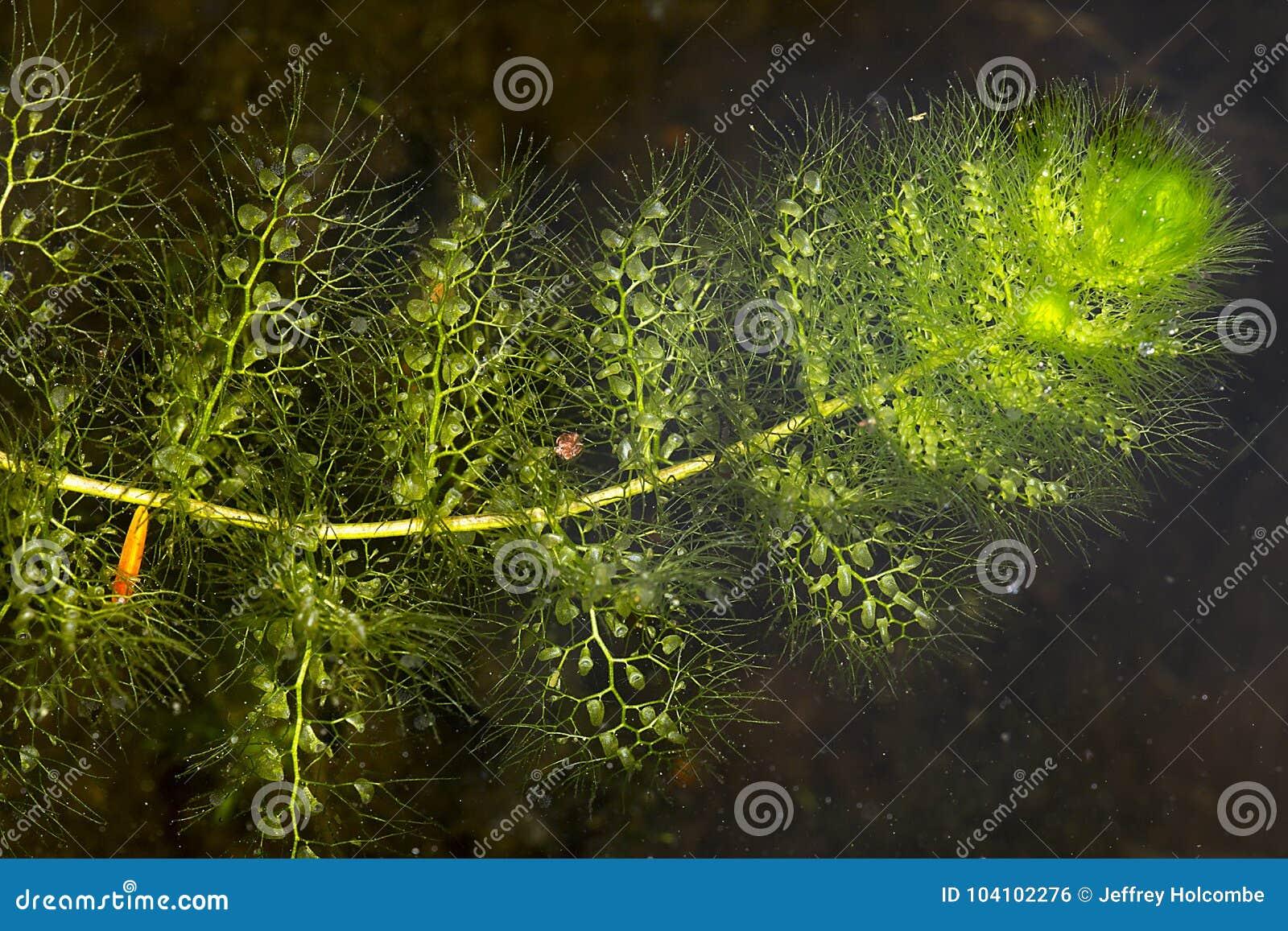 Conjuntos de bexigas nas folhas do bladderwort em New Hampshire