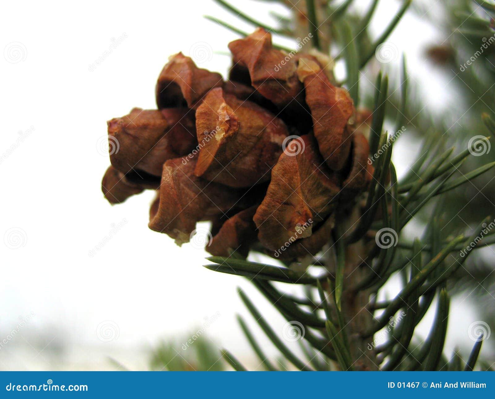 Cono del pino