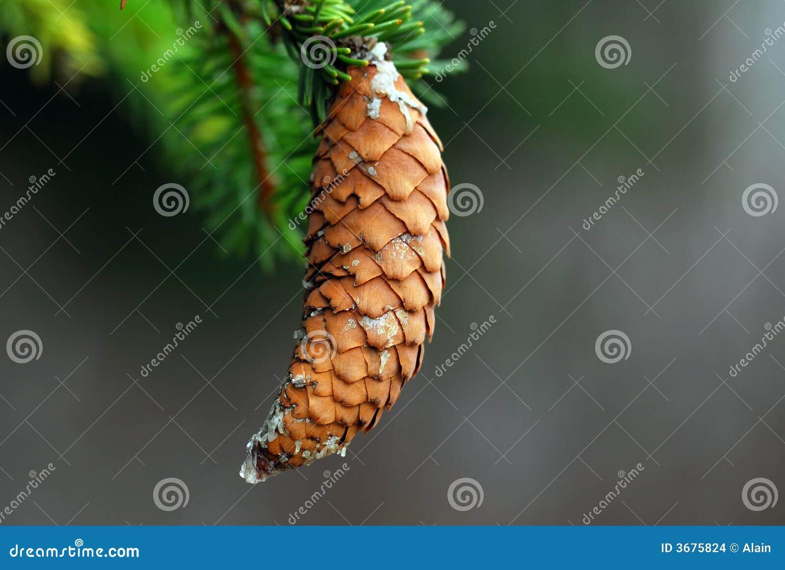 Download Cono del pino fotografia stock. Immagine di fine, natale - 3675824