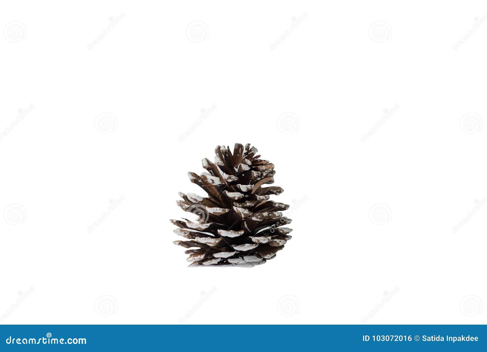 Cono del pino aislado en el fondo blanco
