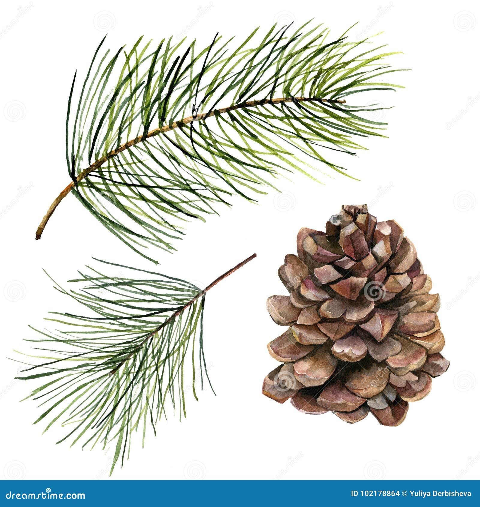 Cono del pino de la acuarela y sistema de la rama del abeto Rama pintada a mano del pino con el cono aislado en el fondo blanco C