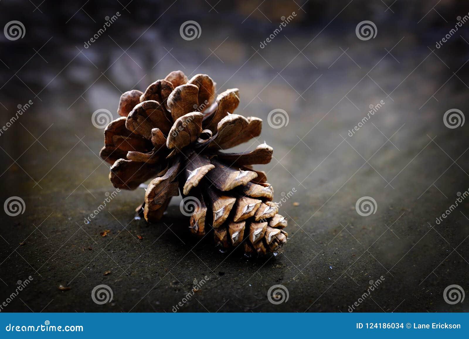 Cono del pino de Pinecone en desierto de la reflexión del agua