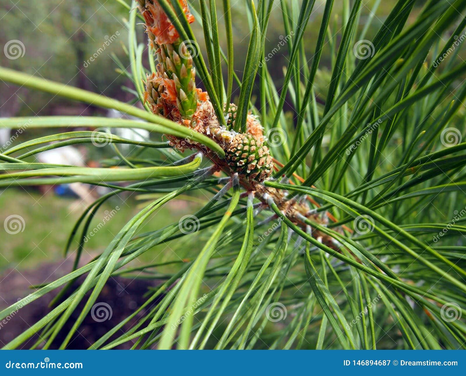 Cono joven del pino