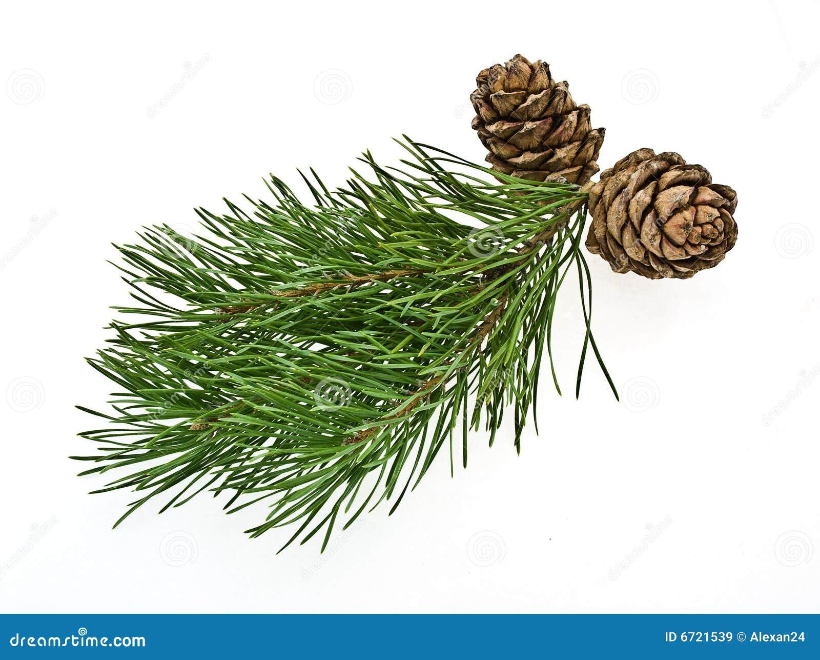 Cono siberiano del pino con la filiale
