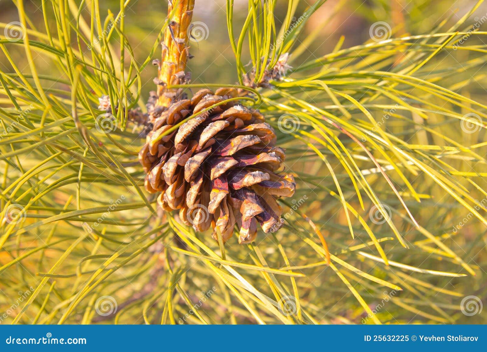 Cono y agujas del pino imagen de archivo. Imagen de pino - 25632225