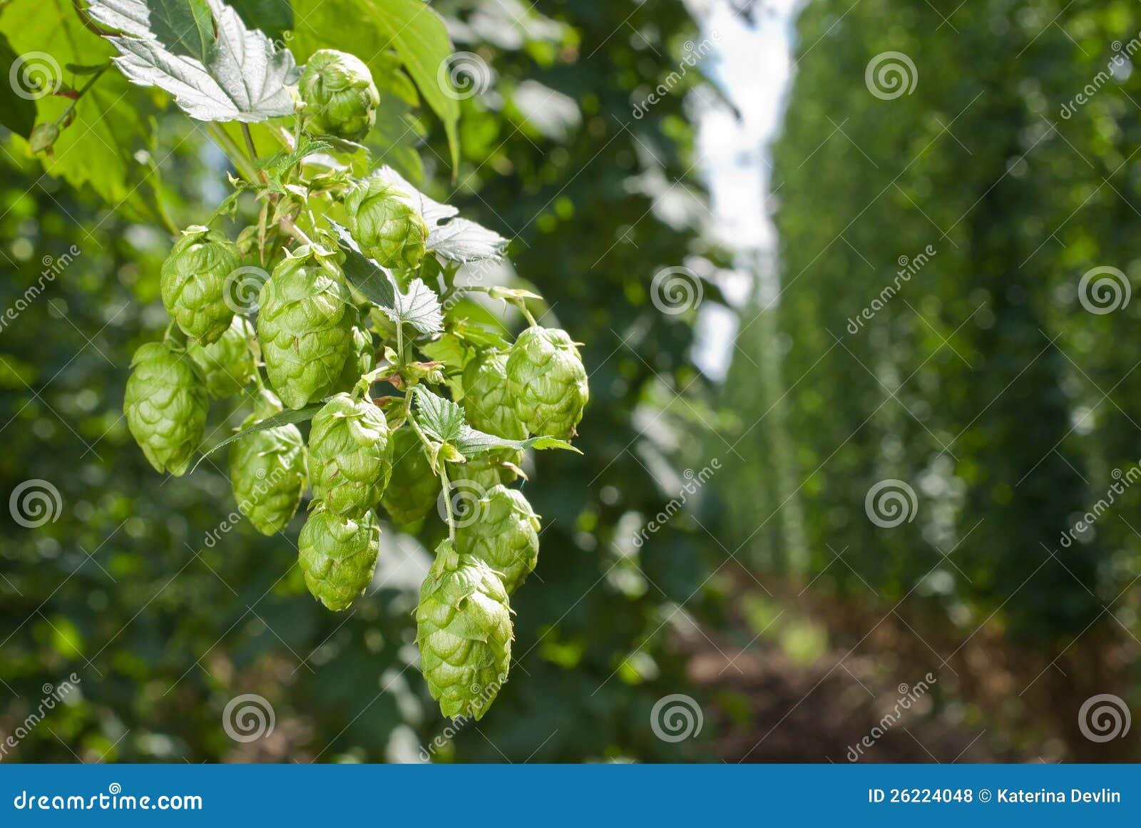 Conos de salto - materia prima para la producción de la cerveza