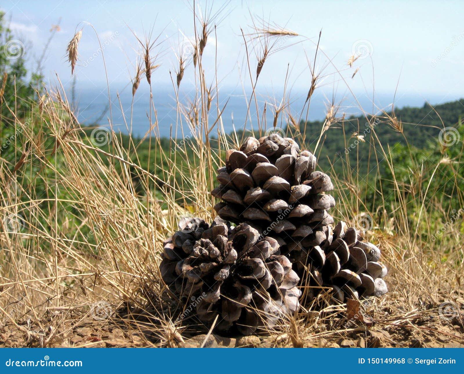 Conos grandes del pino debajo del sol meridional en hierba seca en un fondo de bosques densos, del mar azul y del cielo azul