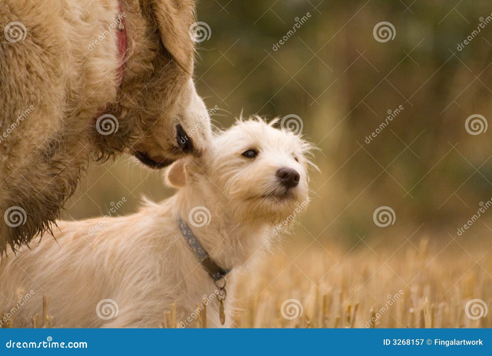 Conselho do cão