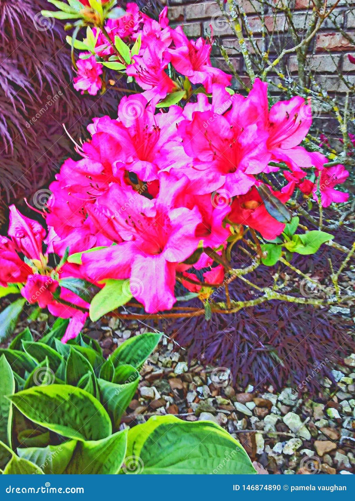 Consideravelmente cor-de-rosa