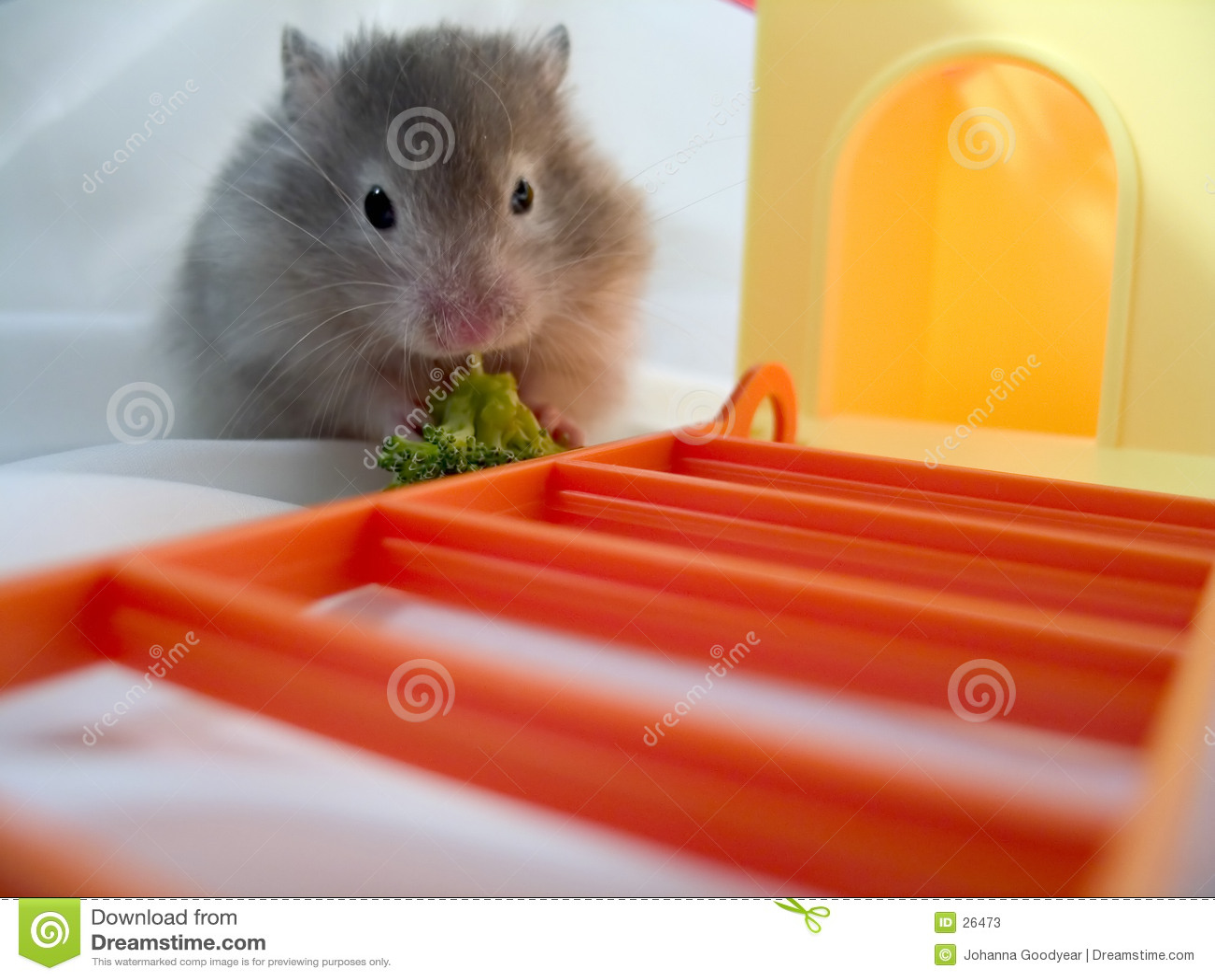 Consommation Brocolli de hamster