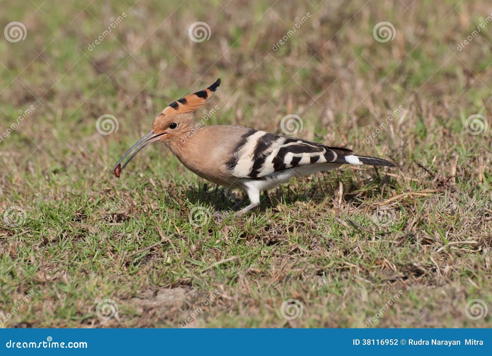 Consommation commune d 39 oiseau de hoepoe epops d 39 upupa for Oiseau commun