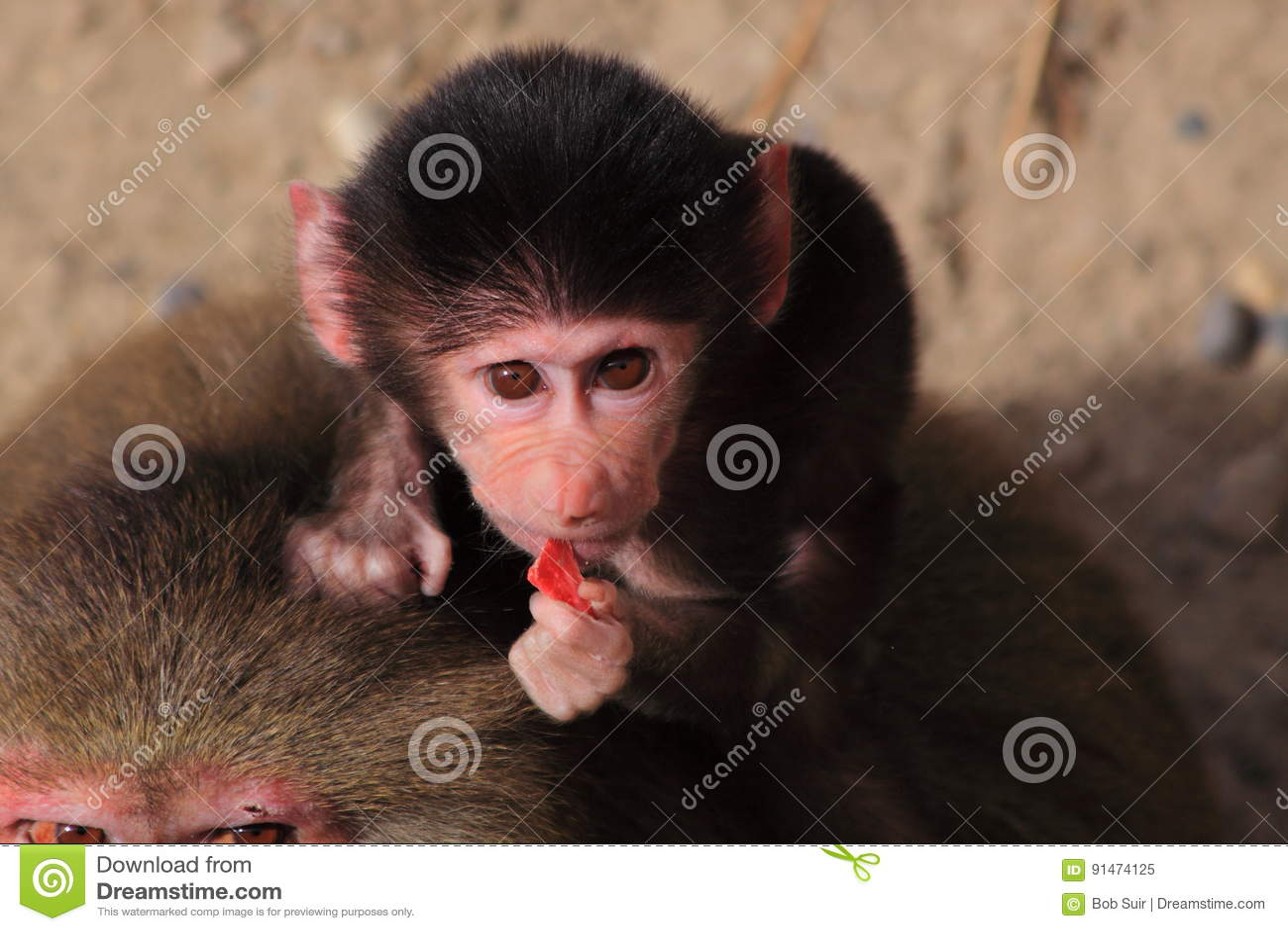 Consommation de babouin de hamadryas de bébé