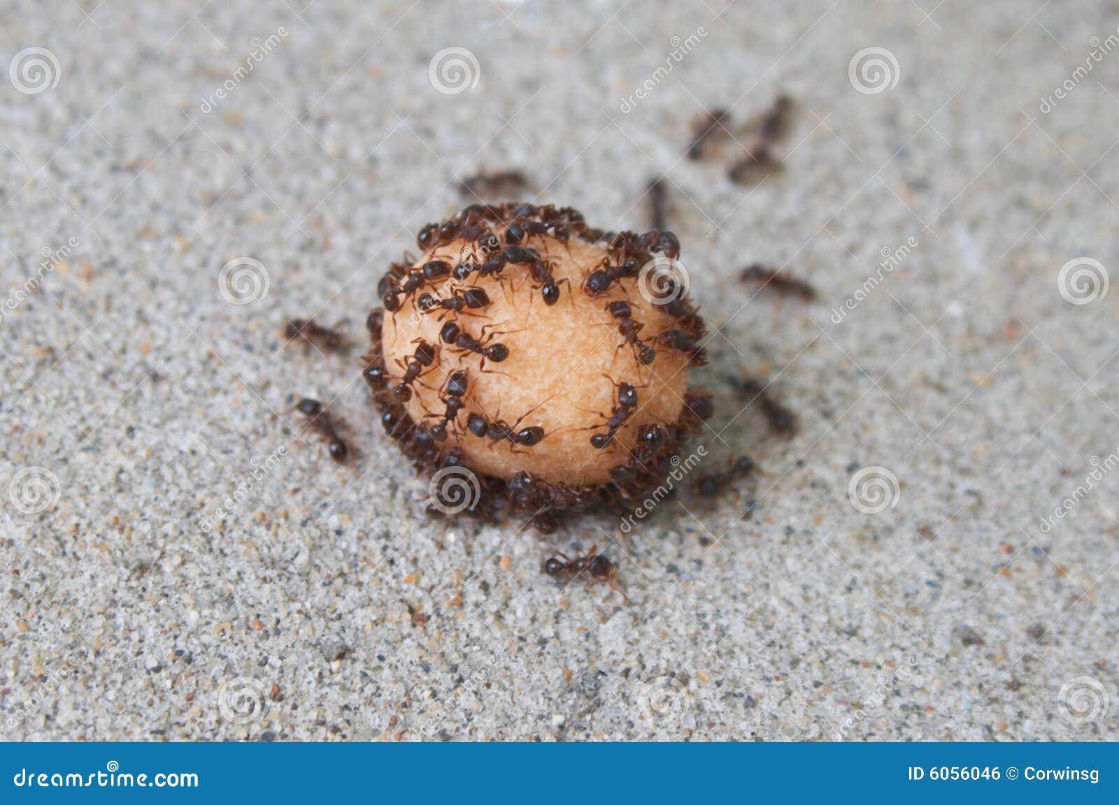 Consommation de fourmis