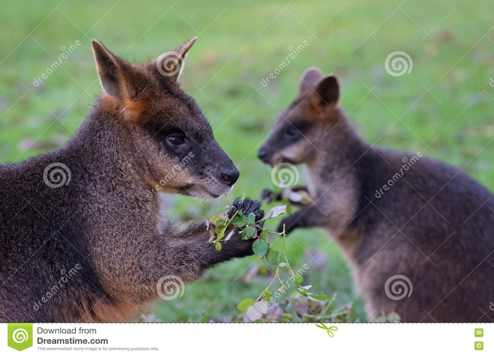 Consommation du ` s de wallaby