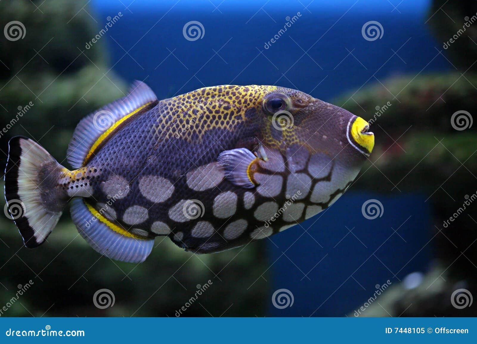 Conspilum di FishBalistoides
