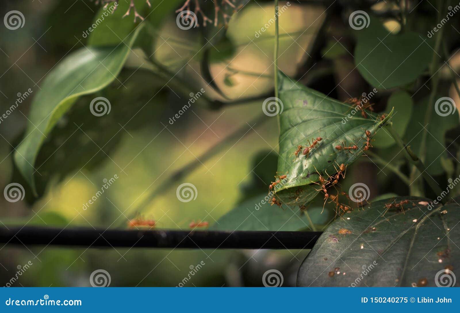 Construindo um ninho por formigas do tecelão em uma árvore