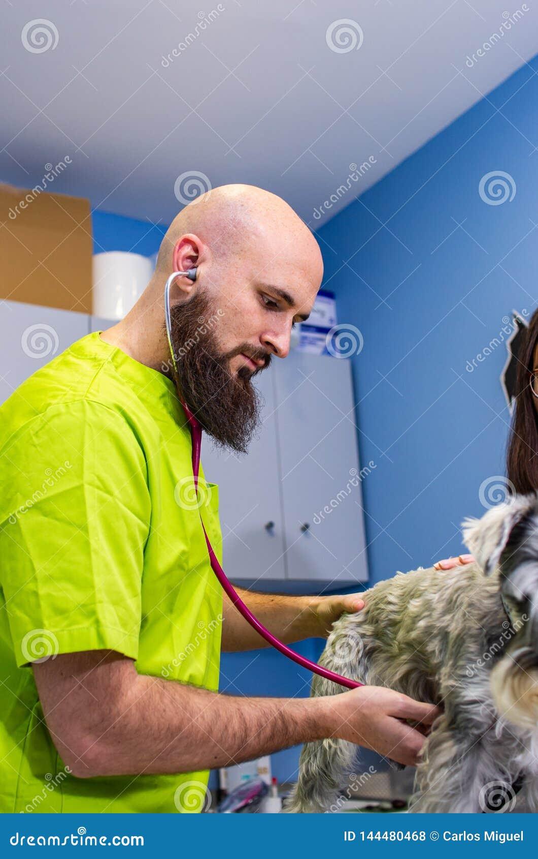 Consultazione veterinaria, veterinario che ispeziona uno schnauzer con il proprietario