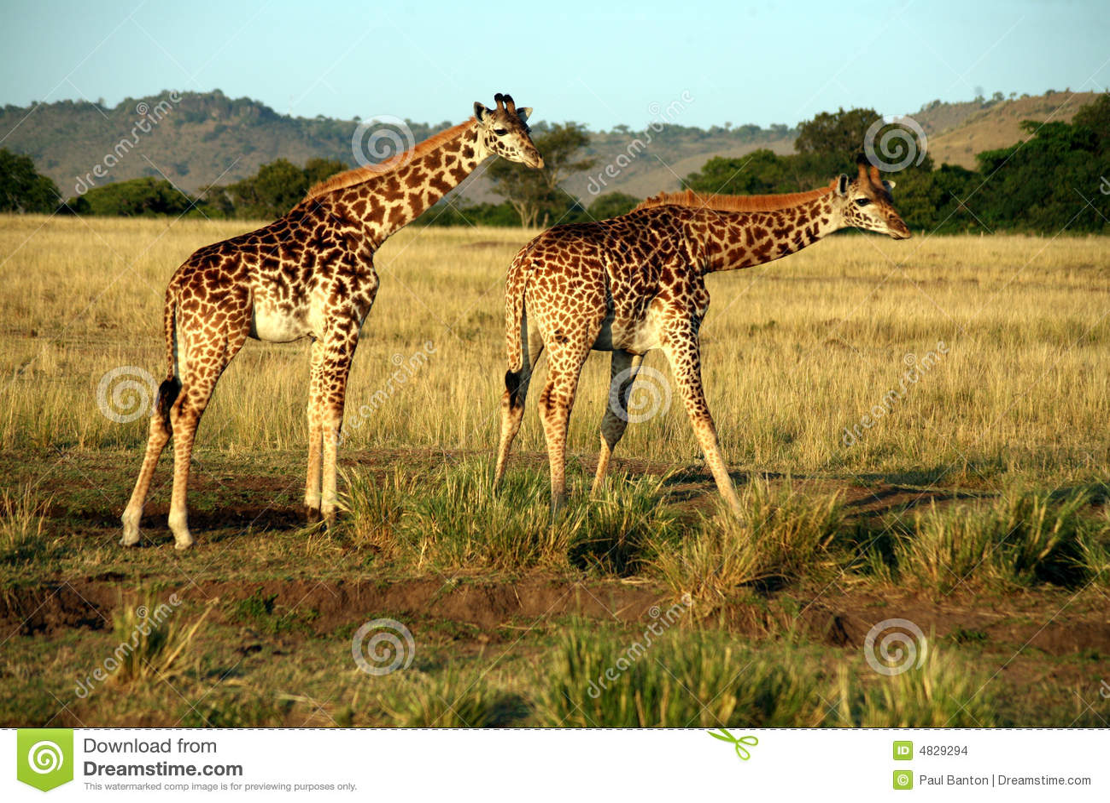 Consumición de la jirafa (Kenia)