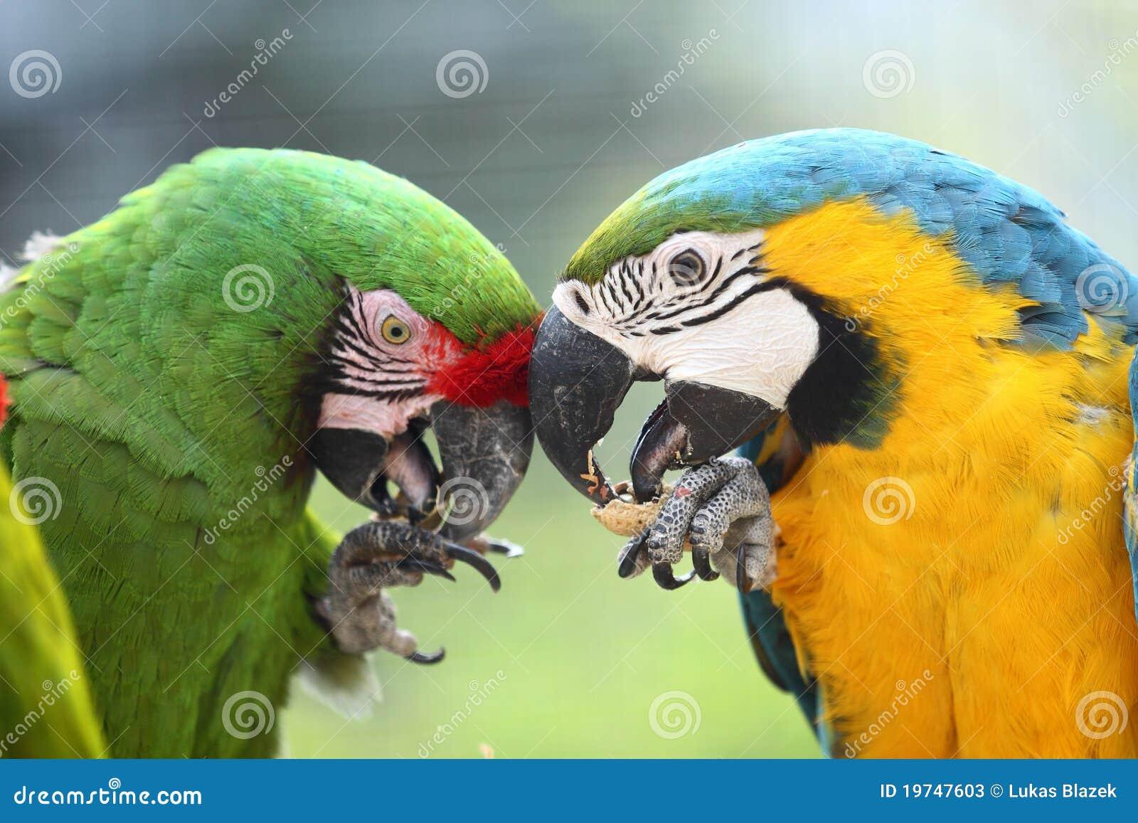Consumición de macaws