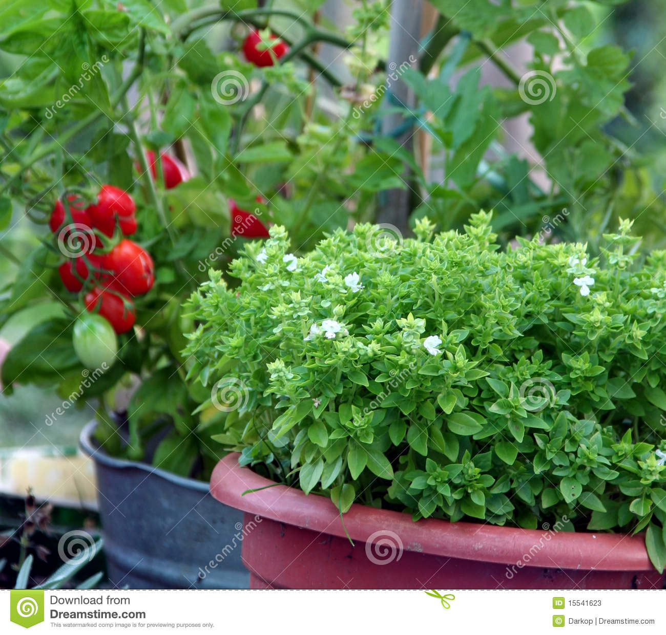Container gardening basil and tomato