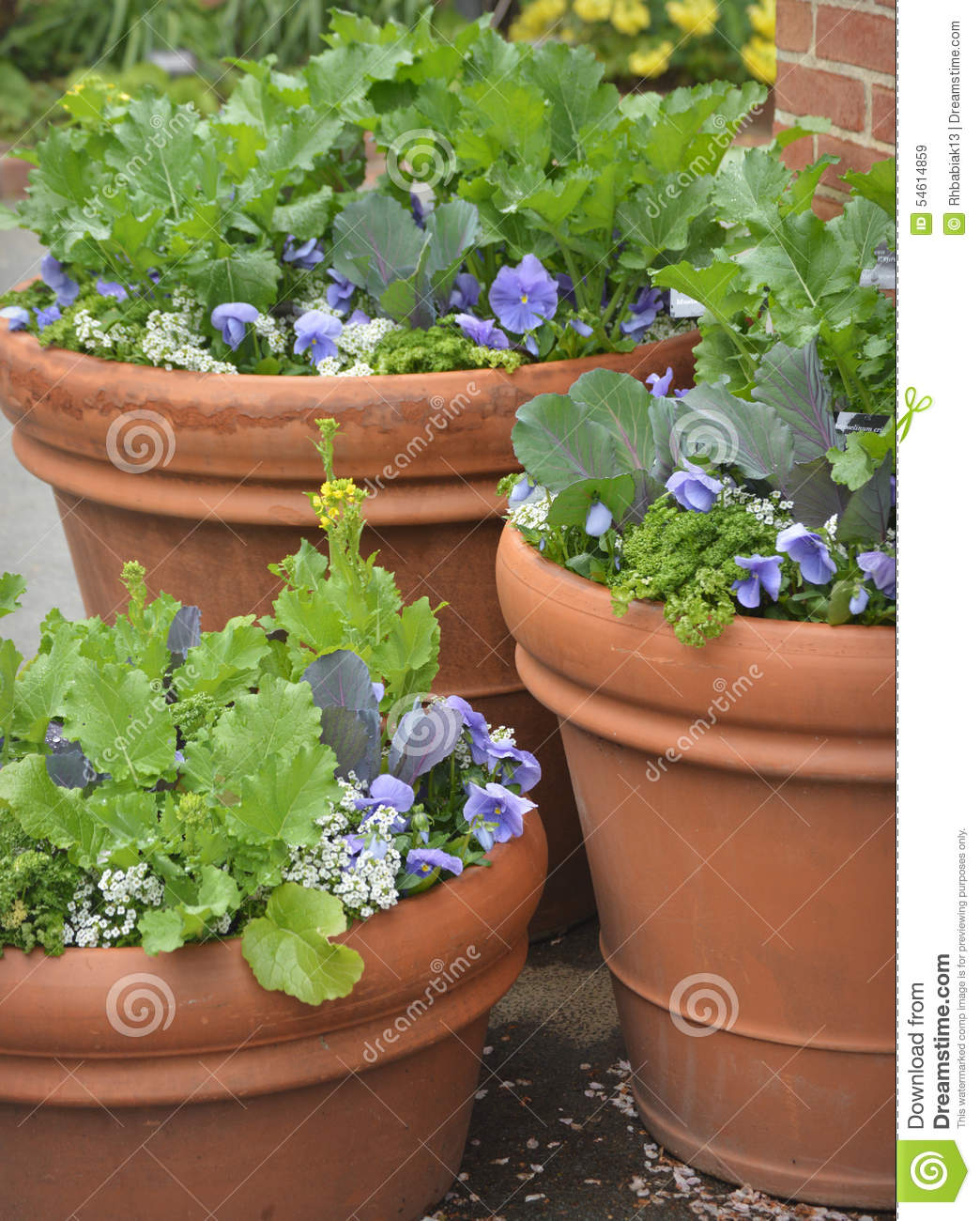Lettuce Container Garden: Container Gardening Stock Photo