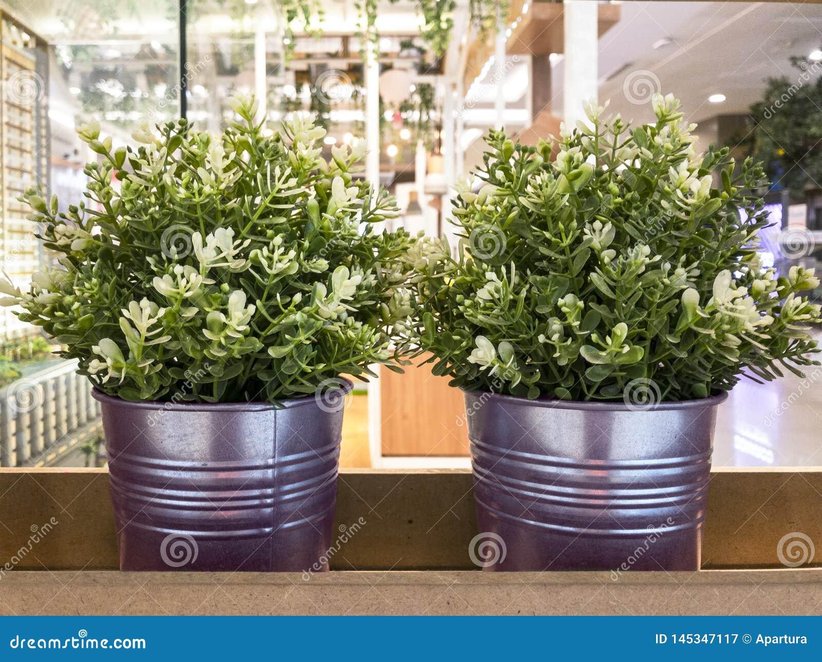 Conteneur rosâtre d usine de pourpre de pot deux en métal avec Jasmine Flowering Ornamental Shrub