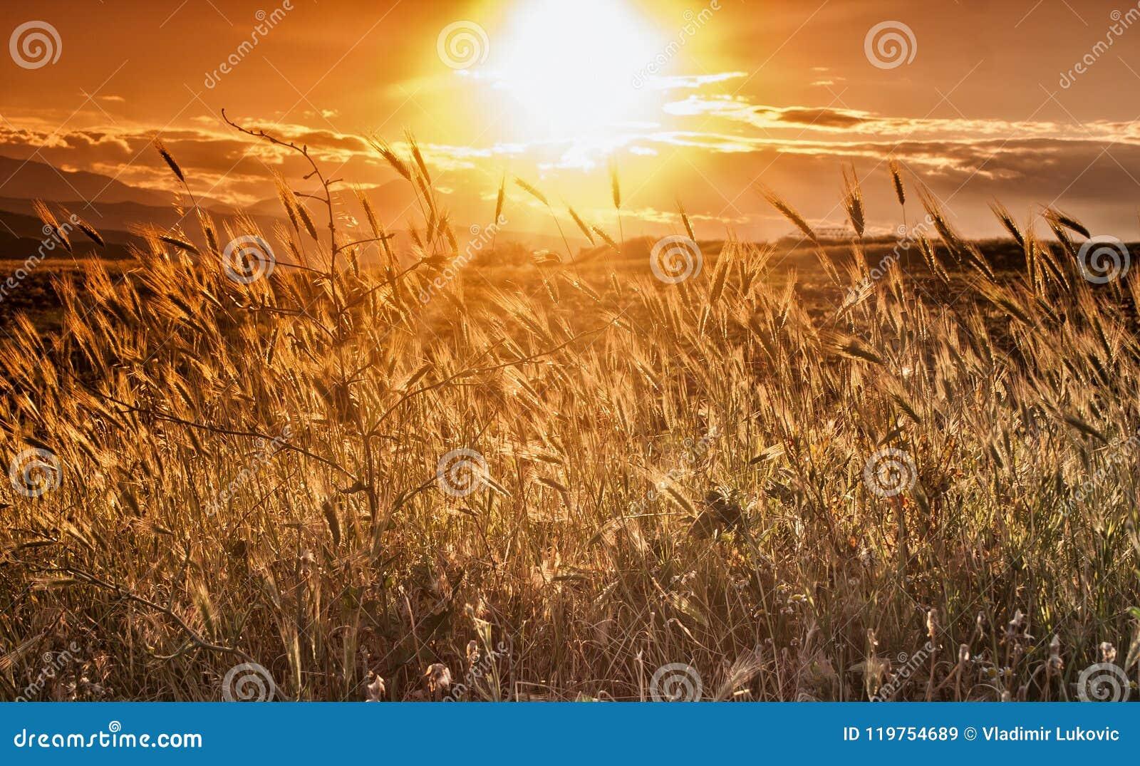 Contesto delle orecchie di maturazione del giacimento di grano giallo sul tramonto