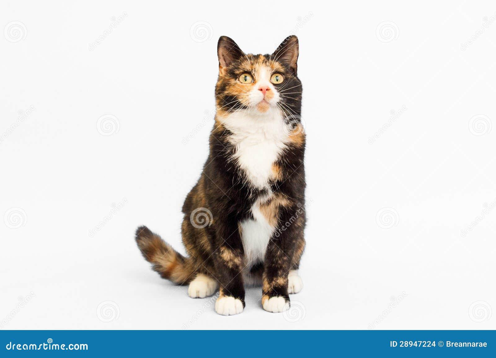 Contexto do branco do gato de chita