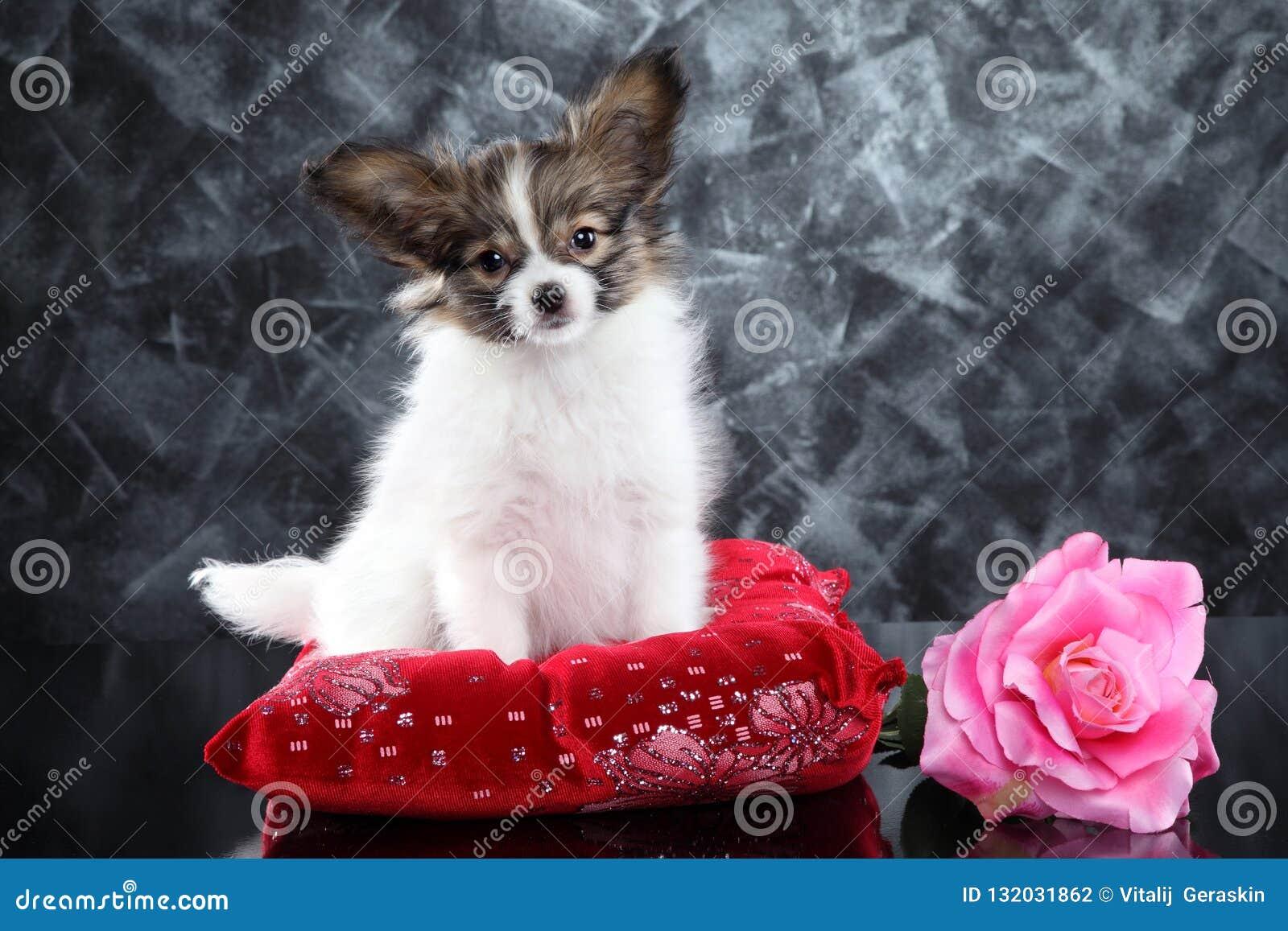 Continentaal Toy Spaniel-puppy op rood hoofdkussen