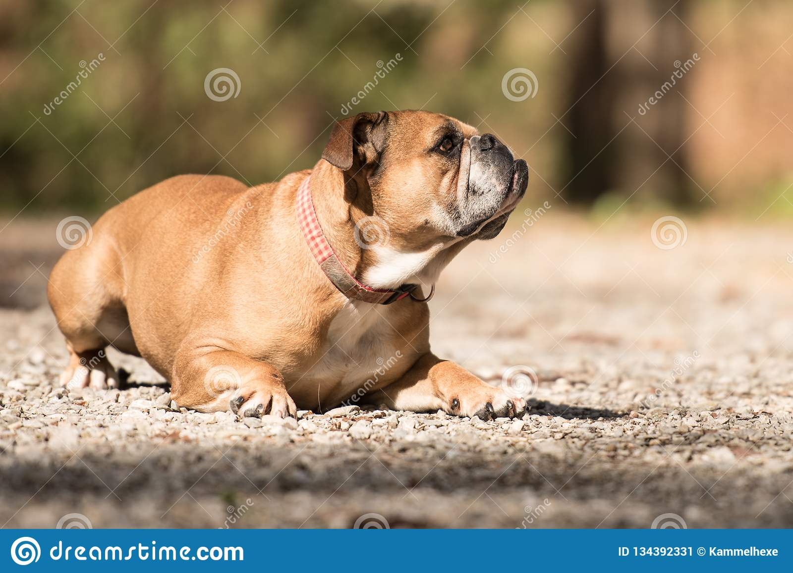 Continental Bulldog Dog Is Lying In The Forest In Front Of Blurred Background Stock Image Image Of Looking Front 134392331