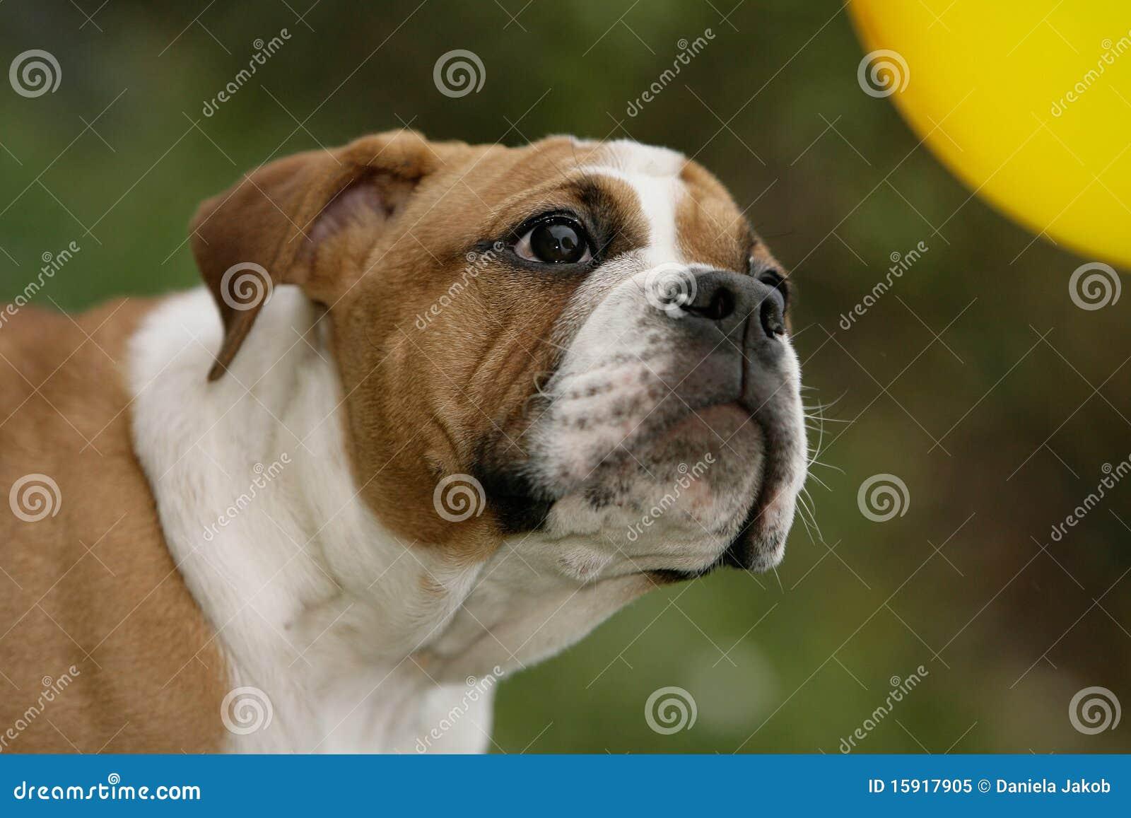 Continental Bulldog Puppy Stock Image Image Of Amazed 15917905
