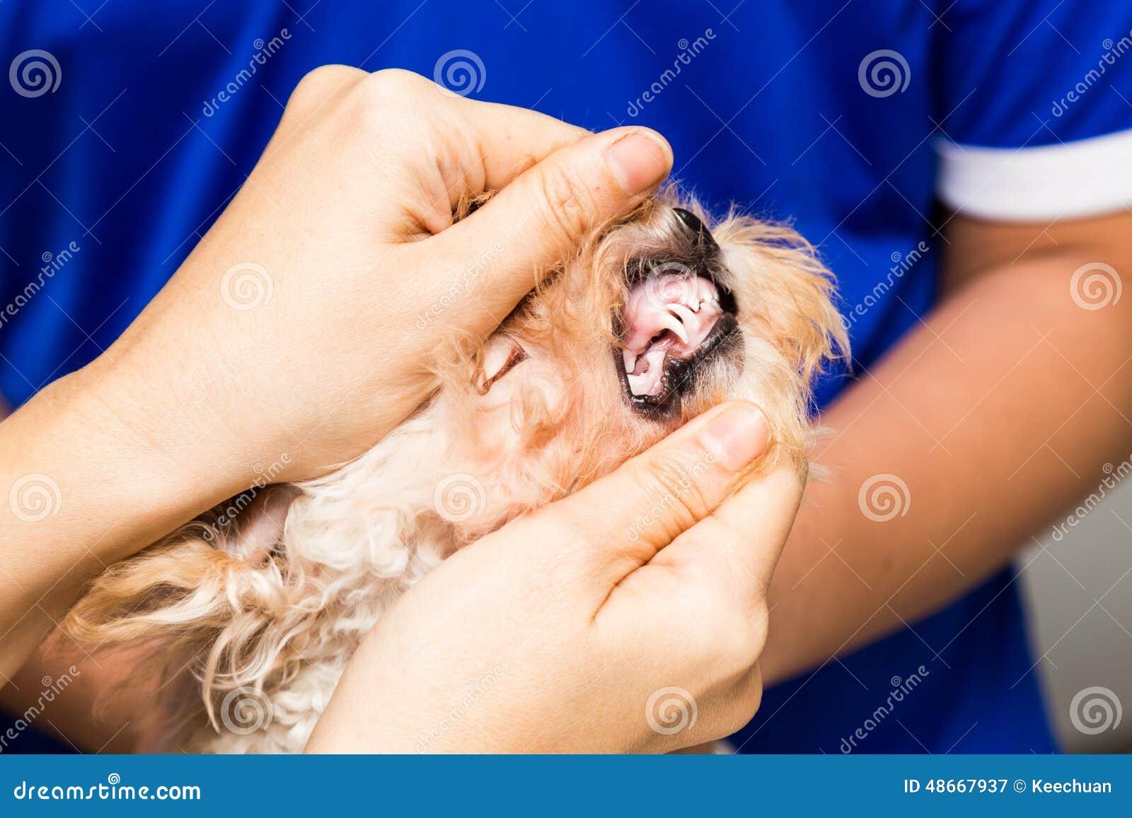 Contrôlez examiner les dents et les gommes d un chiot