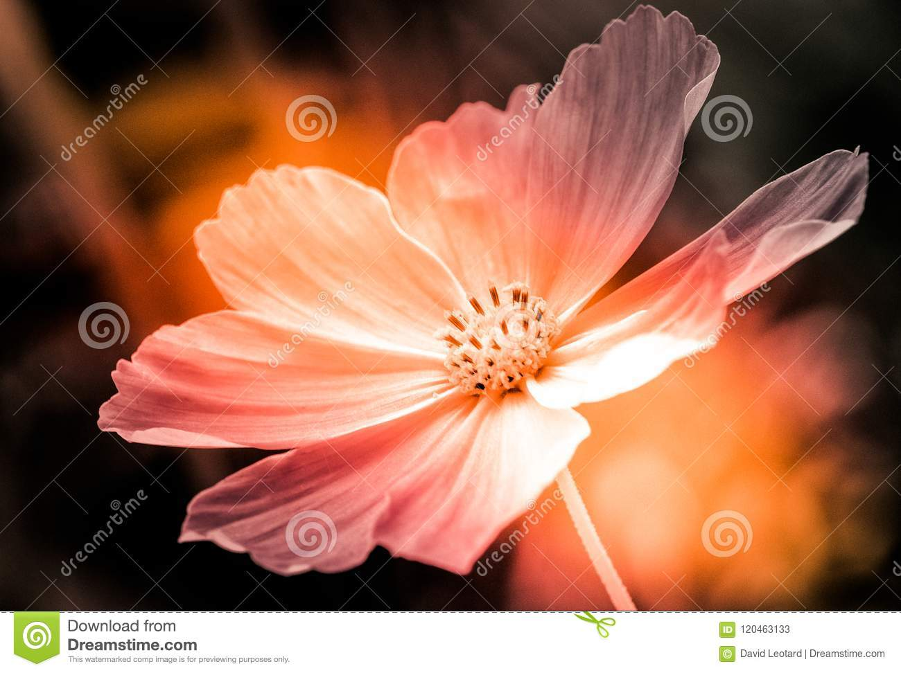White cosmo flower in color and this hard light stock image image download white cosmo flower in color and this hard light stock image image of softness mightylinksfo