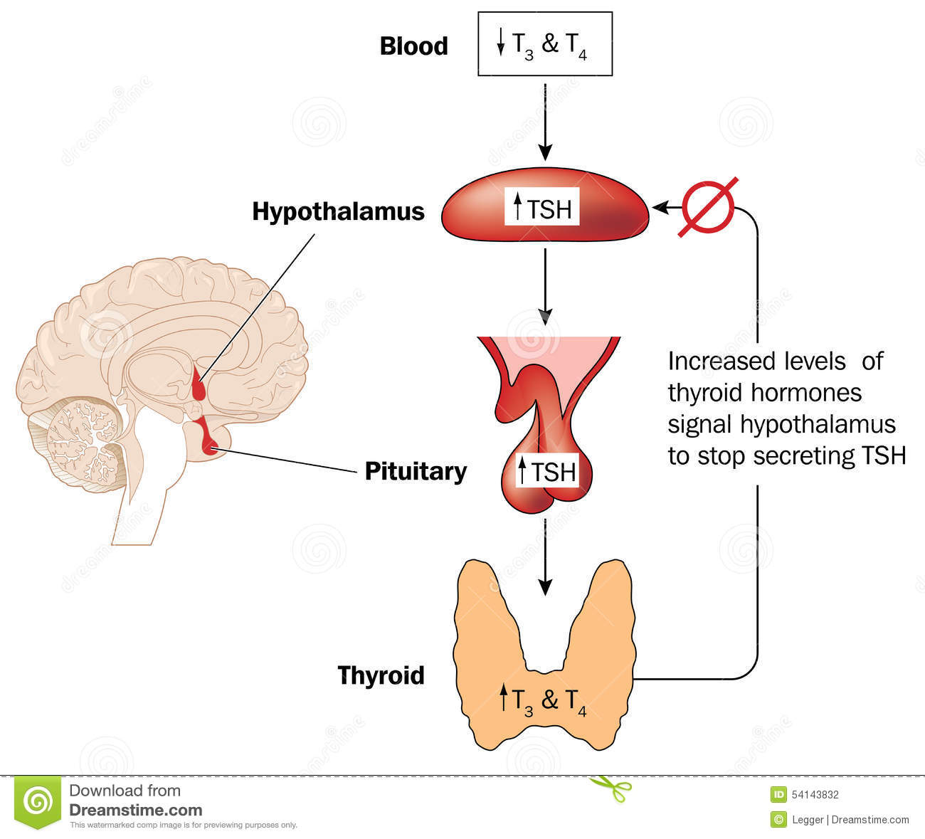 Control Of Thyroid Hormone Production Stock Vector