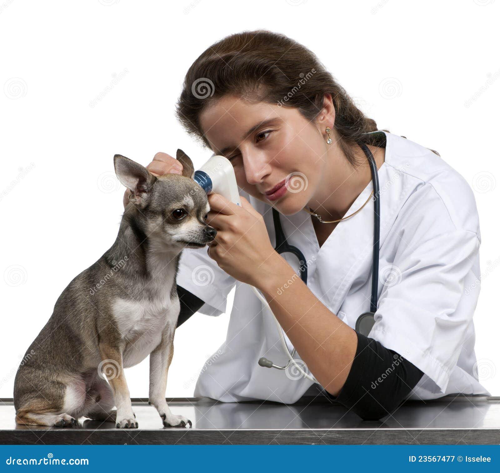Controlli l esame della chihuahua con un otoscopio
