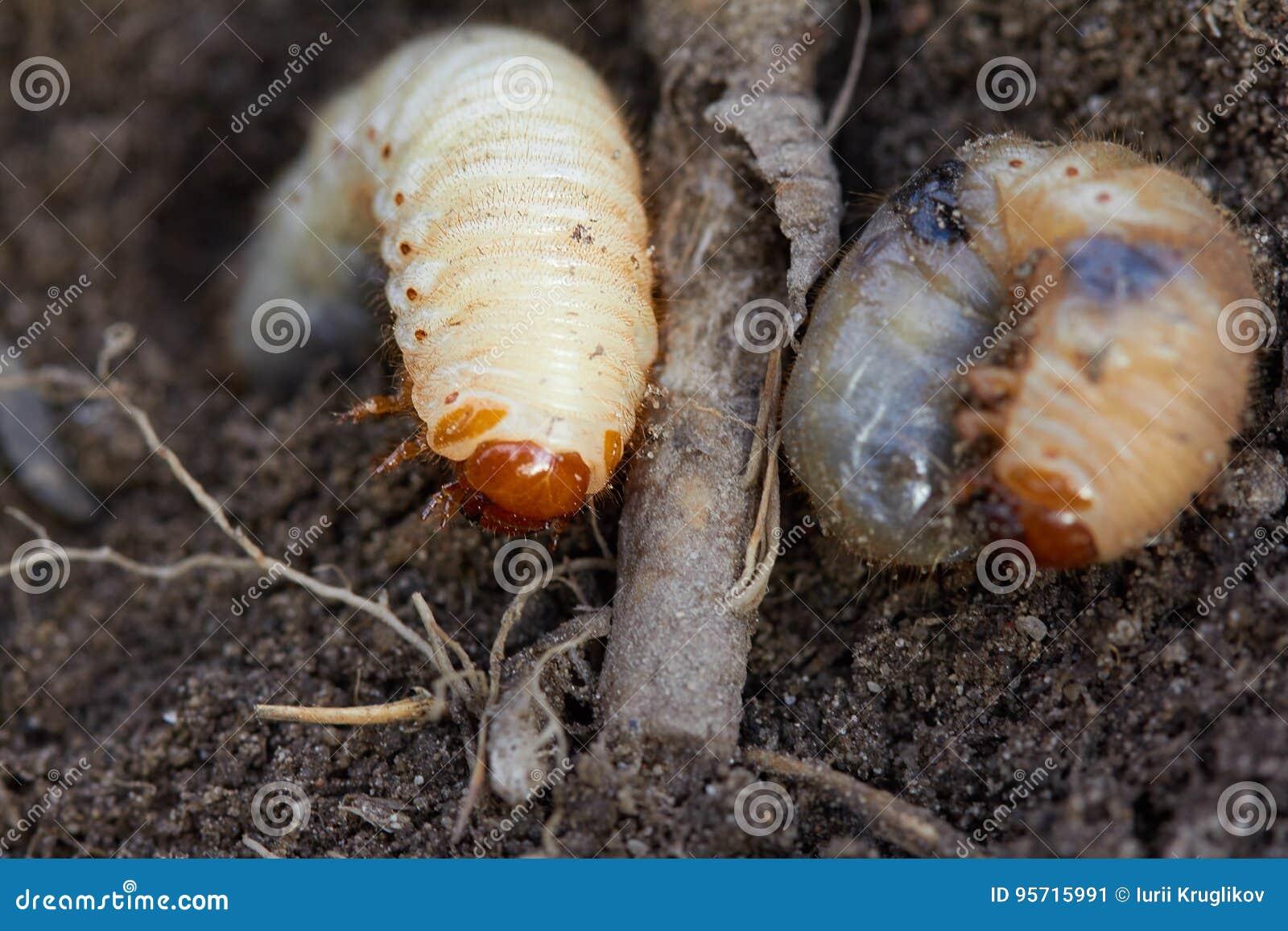 Butakova su e parassiti - Quello che può essere in una pan-vespa a vermi