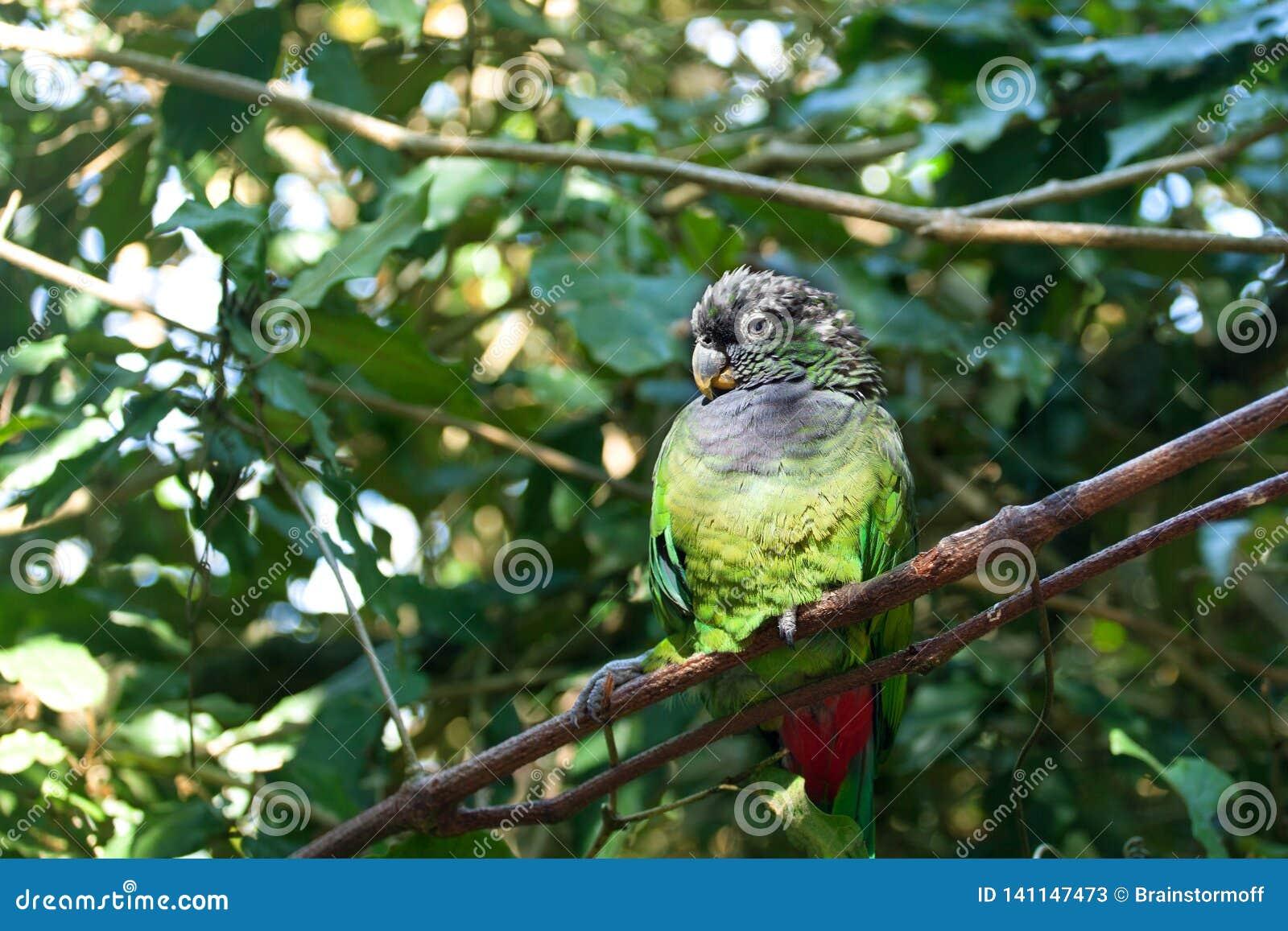 Conure del periquito o molinae verdes-cheeked de Pyrrhura que se incorporan en cierre verde del fondo del árbol