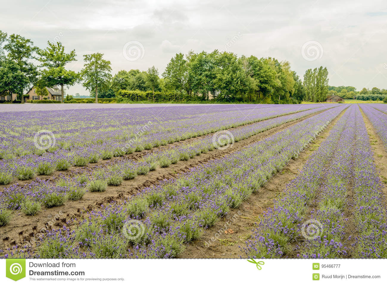 Converging Beds With Purple Flowering Lavender Plants In The Fie