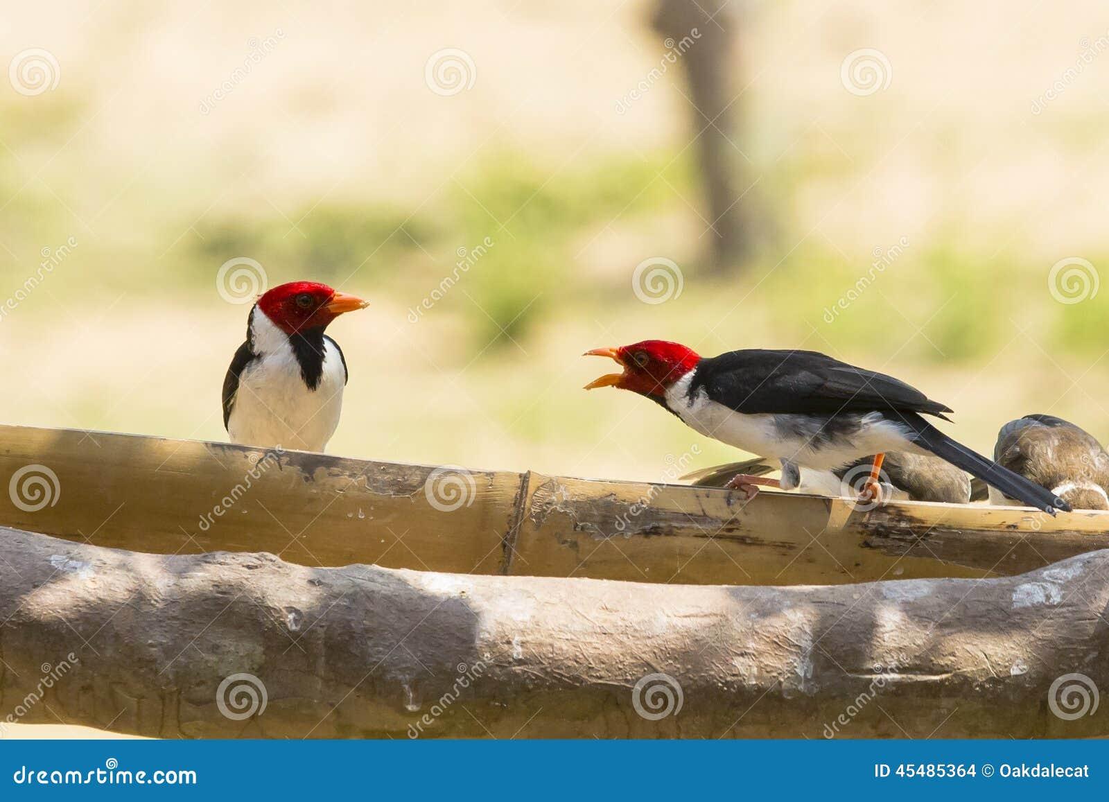 Conversación graznadora entre cardenales Amarillo-cargados en cuenta