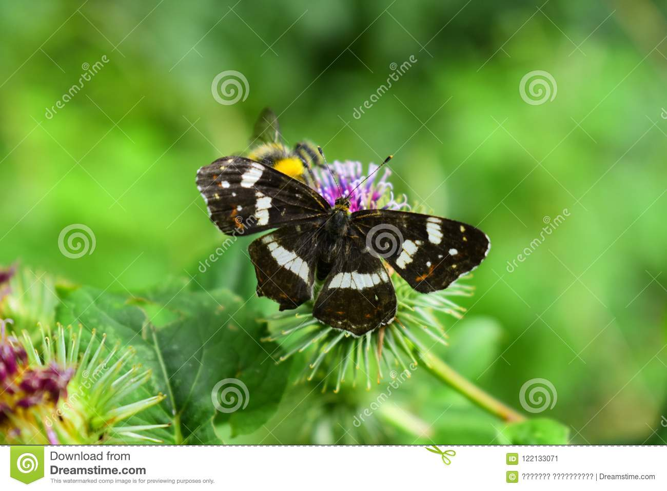 The Conversation Between Bumblebee And Butterfly Stock Image