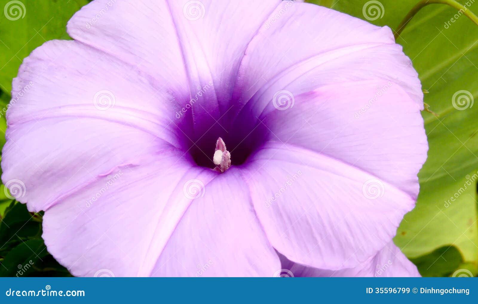 Convolvulus flowers small, thin purple